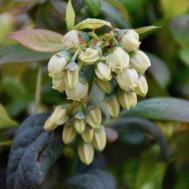 BrazelBerry - Blüten - Franks kleiner Garten