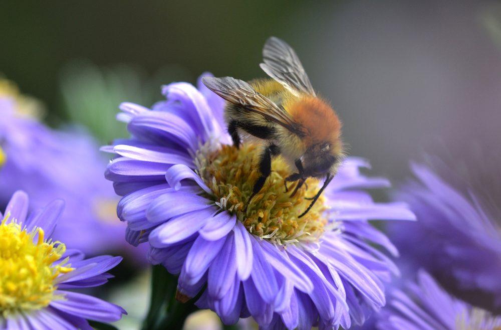 Chrysantemen - Biene - Franks kleiner Garten