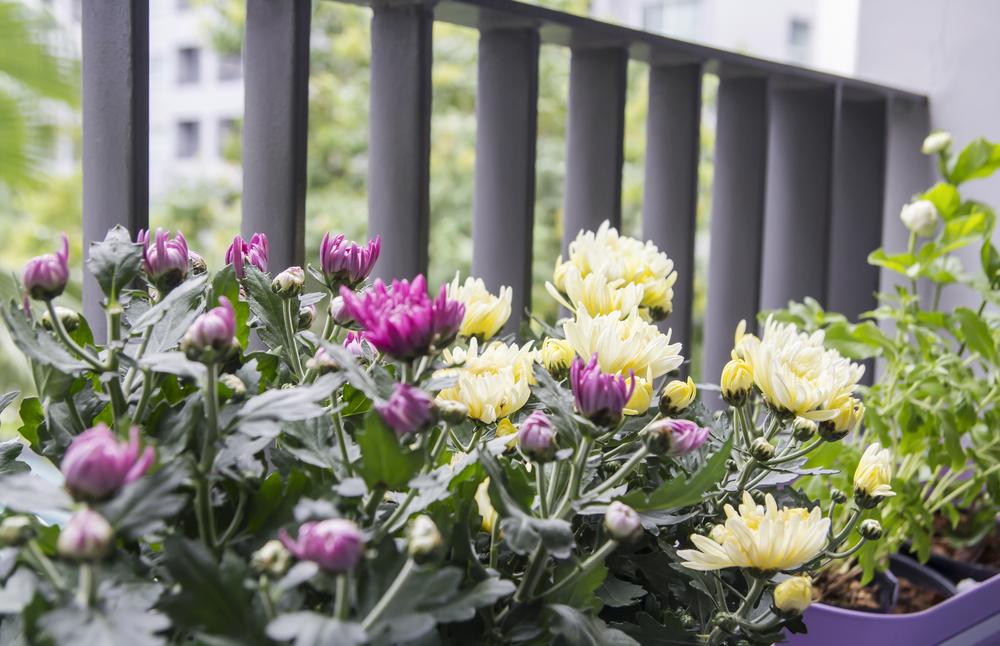 Chrysanthemen - Balkon - Franks kleiner Garten