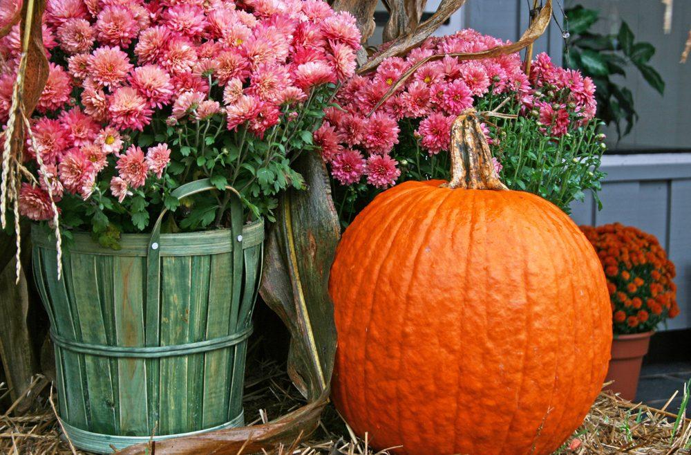 Chrysanthemen - Kürbis - Franks kleiner Garten