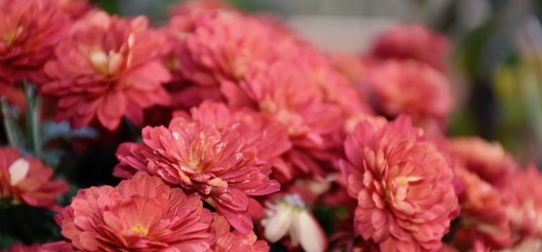 Chrysanthemen - Rot - Franks kleiner Garten