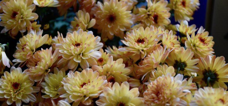 Chrysanthemen - Blüten - Franks kleiner Garten