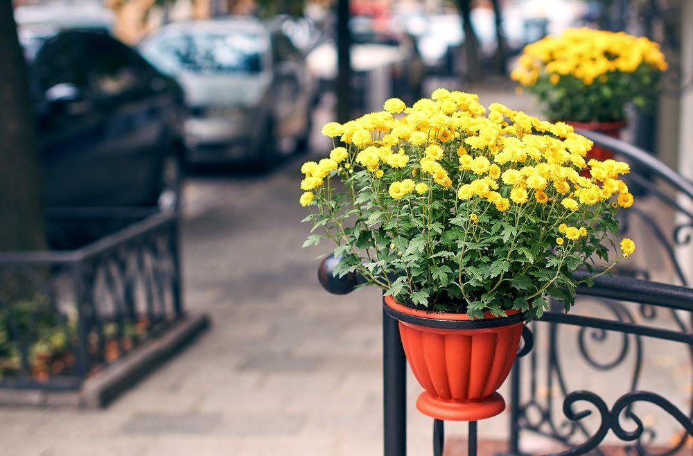Chrysanthemen - Topf- Franks kleiner Garten