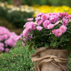 Chrysanthemen - Topf - Franks kleiner Garten