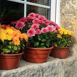 Chrysanthemen - Fensterbank - Franks Kleiner Garten