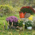 Chrysanthemen - Garten - Franks kleiner Garten