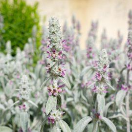 Grosser Wollziest - Bodendecker - Sonne - Franks kleiner Garten