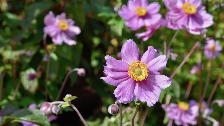 Herbststauden - Herbstanemomen - blau - Franks kleiner Garten