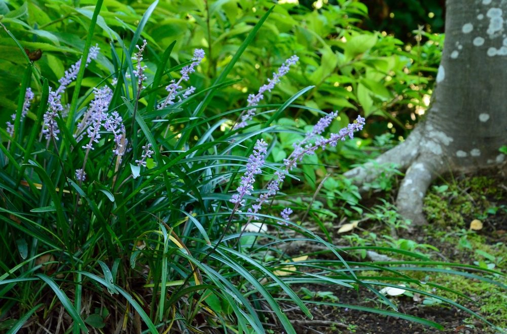 Herbststauden - Lilientraube - Frasnks kleiner Garten