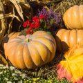 Kürbis - Herbst - Franks kleiner Garten