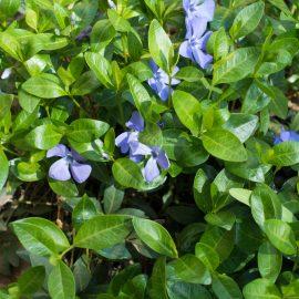 Kleine Immergrün – Bodendecker - Schatten - Franks kleiner Garten