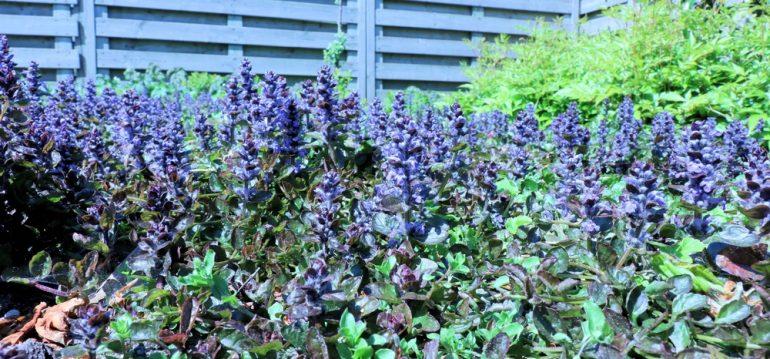 Kriechender Günsel - Bodendecker - Franks kleiner Garten