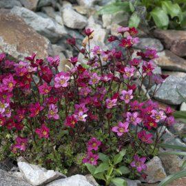 Porzellanblümchen - Bodenecker - Schatten - Franks kleiner Garten