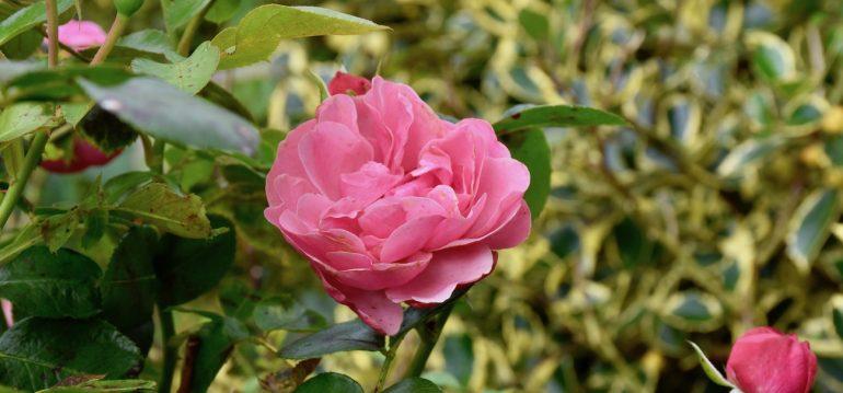 Rose - Oktober - Franks kleiner Garten