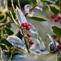 Stechpalme - Beeren - Franks kleiner Garten