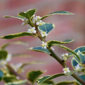 Stechpalme - Blüten - Franks kleiner Garten