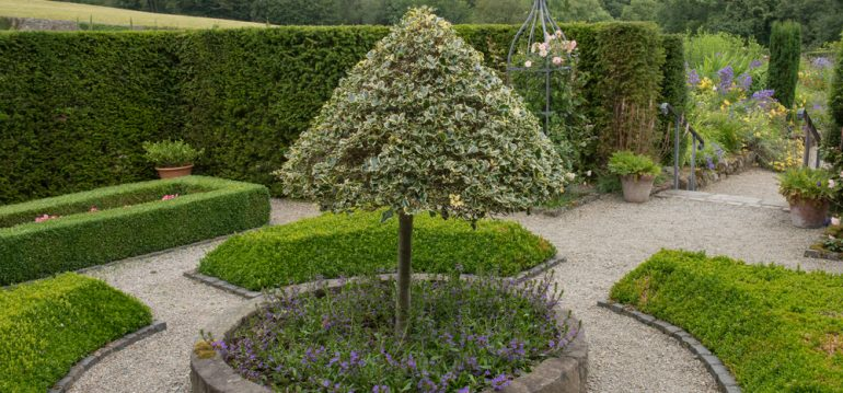 Stechpalme - Formschnitt - Franks kleiner Garten
