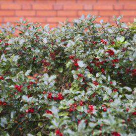 Stechpalme - Hecke - Franks kleiner Garten