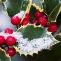 Stechpalme - Ilex - Winter - Schnee - Franks kleiner Garten
