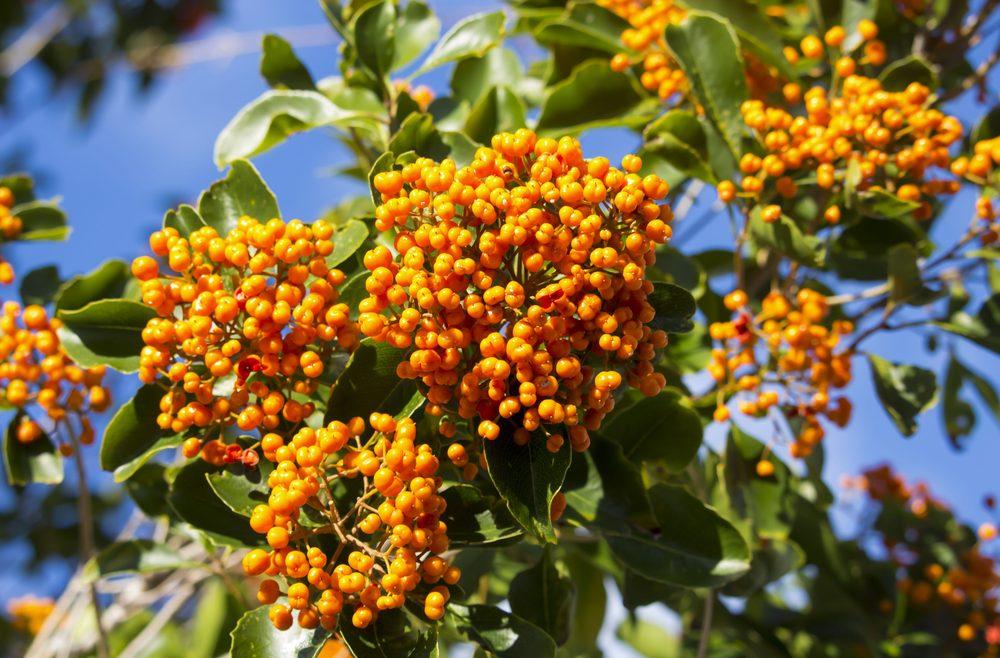 Stechpalme - Ilex verticillata - Franks kleiner Garten
