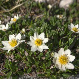 Weißer Silberwurz - Bodendecker - Sonne - Franks kleiner Garten