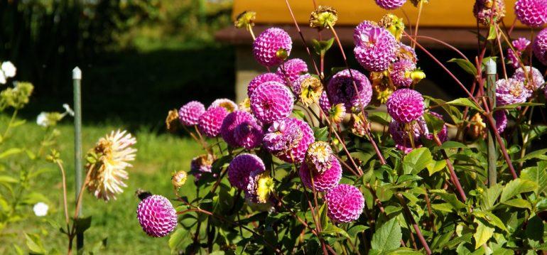 Dahlien - Herbststauden - Franks kleiner Garten