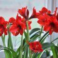Amaryllis - Fensterbank - Franks kleiner Garten