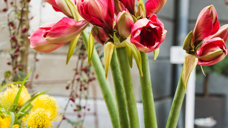 Amaryllis - Vase - Franks kleiner Garten