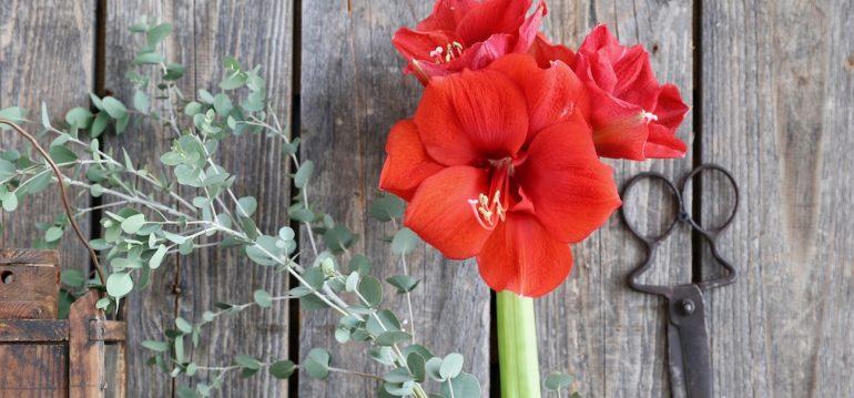 Amaryllis - Franks kleiner Garten
