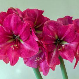 Amaryllis - pink - Franks kleiner Garten