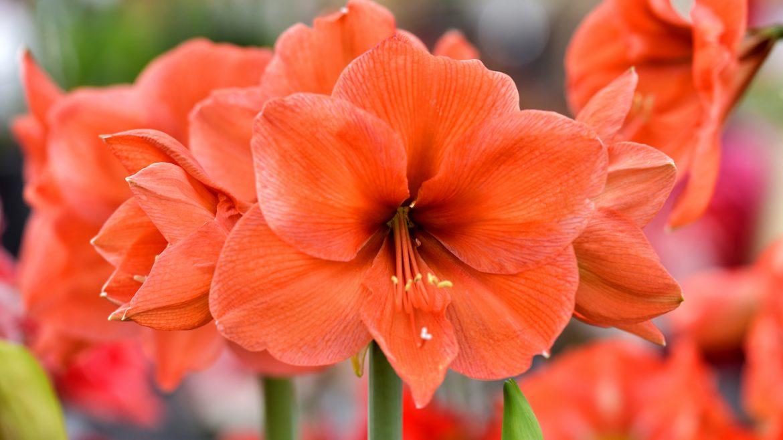 Amaryllis - rot - Franks kleiner Garten