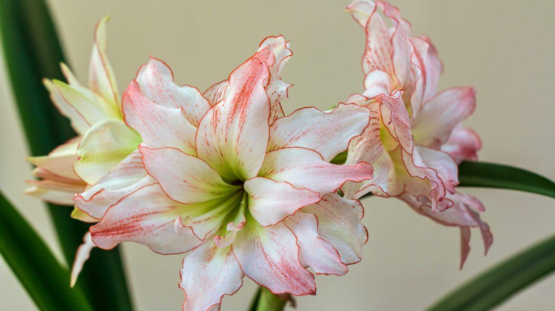 Amaryllis - weiß - Franks kleiner Garten
