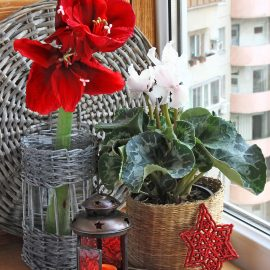 Amaryllis - weihnachtlich - Franks kleiner Garten