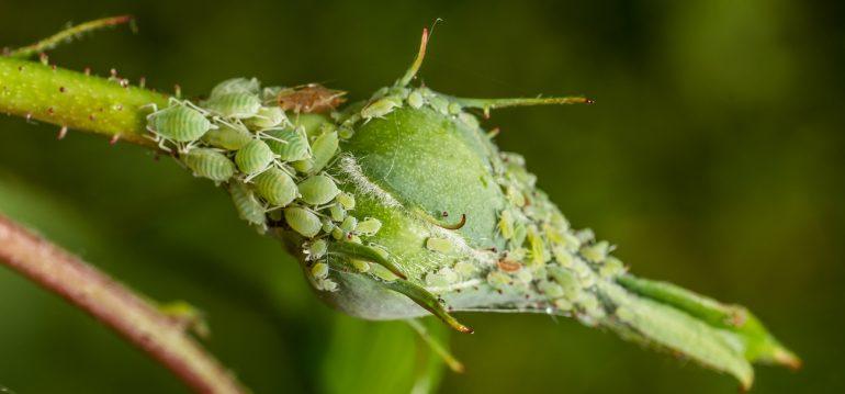 Krankheiten - Blattläuse - Franks kleiner Garten