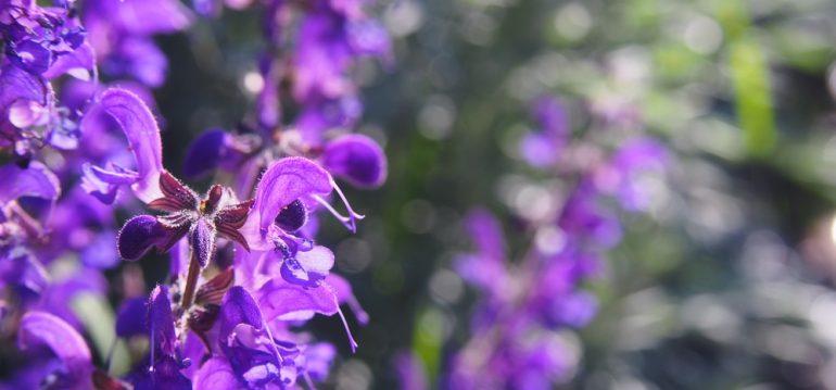 Pflanzenpaare - Salvia prantensis - Franks kleiner Garten