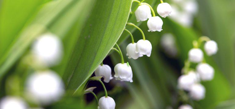 Pflanzenpaare - Maiglöckchen - Franks kleiner Garten
