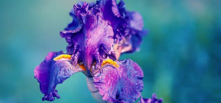 Pflanzenpaare - Iris - Franks kleiner Garten