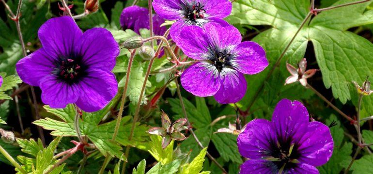 Pflanzenpaare - Geranium psilostemon – Franks kleiner Garten