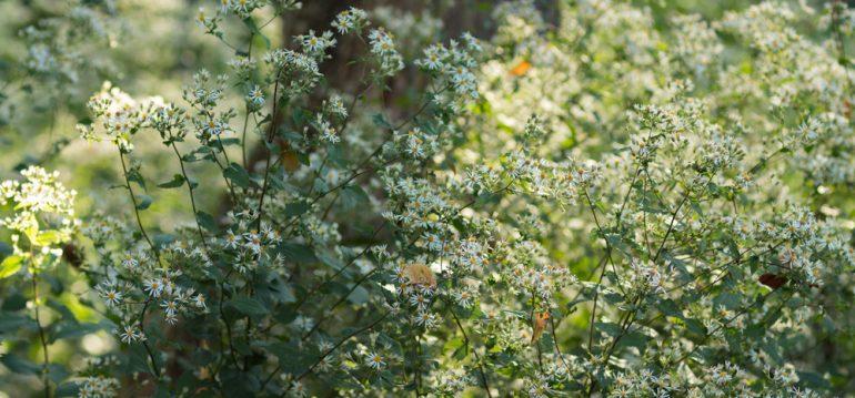 Pflanzenpaare - Wald-Aster - Franks kleiner Garten