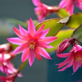 Schlumbergera - Weihnachtskatus - Blüten - Franks kleiner Garten