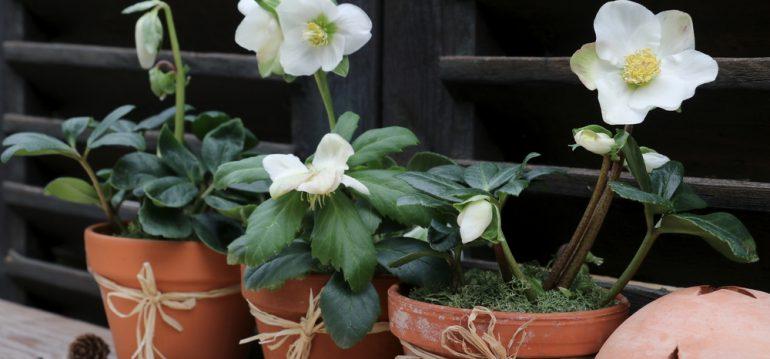 Garten im Winter - Christrosen - Franks kleiner Garten