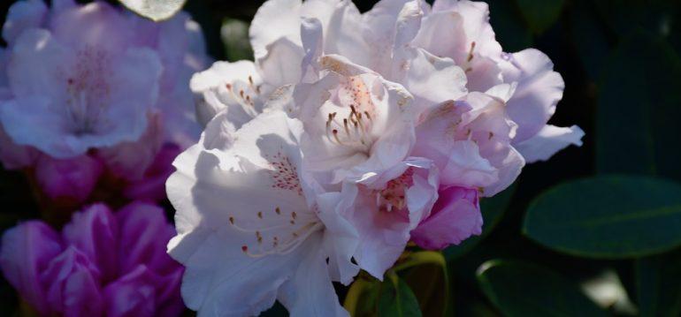 Dezember - Dinge - Rhododendron - Franks kleiner Garten