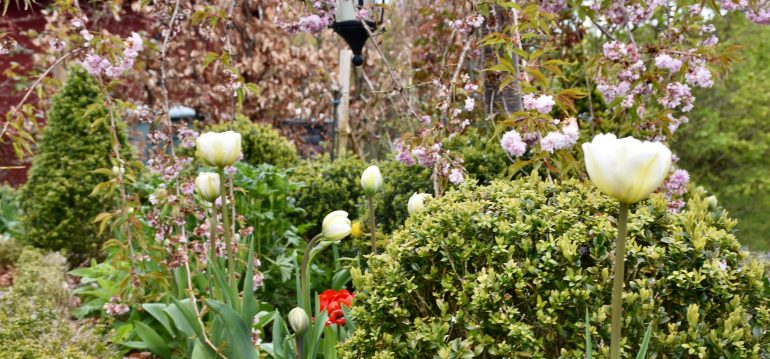 Tulpen - Buchs - Franks kleiner Garten