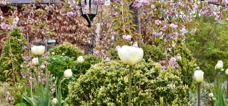 Tulpen - Frühling - Franks kleiner Garten
