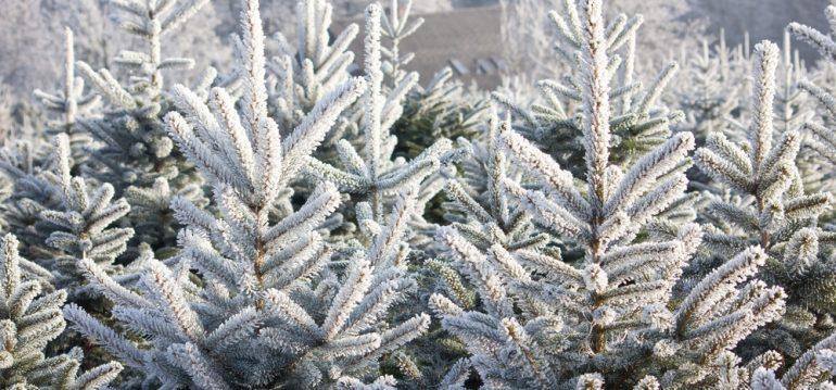 Weihnachtsbaum - Plantage - Franks kleiner Garten