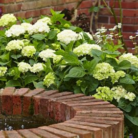Reihenhausgarten - Hortensien - Endless Summer - weiss - Franks kleiner Garten