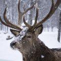 Januar - Hirsch im Schnee - Franks kleiner Garten