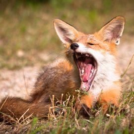 Wildtiere im Garten - Fuchs - Franks kleiner Garten