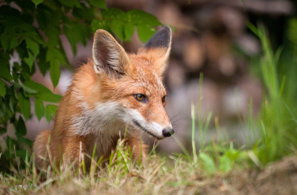 Wildtiere Im Garten Fuchs Im Unterholz Franks Kleiner Garten