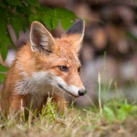 Wildtiere im Garten - Fuchs im Unterholz - Franks kleiner Garten
